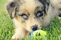 I want this puppy.. I think it's an Australian Shepherd.