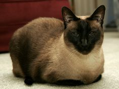Sassy    Another of Moms Siamese cats.
