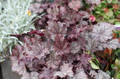 Heuchera a 'Plum Pudding' - Coral flower.  A mound of ruffled green leaves with pewter marks. H & S 50 cm. Flowers May to August. Full sun/partial shade. Hardy. www.thepavilion.ie