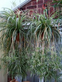 """The Spider Plant, or Chlorophytum can be put into hanging baskets and its babies allowed to """"flow"""" downwards like a cascading waterfall."""