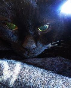 Barolo #cat #cats #forestcat #vestfossen #norwegiancat #pussycat #catsofinstagram #purr #norge #norwag #animal #prizepussy #norwegianhousecat #huskatt #katt #kattepus by hansnt