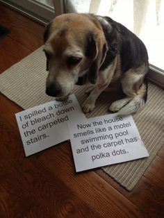 """""""I spilled a bottle of bleach down the carpeted stairs. now the house smells like a hotel swimming pool and the carpet has polka dogs. ~ Dog Shaming shame - Beagle bleach on carpeted stairs Cute Funny Dogs, Funny Dog Memes, Funny Animal Memes, Cute Funny Animals, Cat Memes, Funny Pics, Cat Shaming, Funny Dog Shaming, Dog Shaming Photos"""
