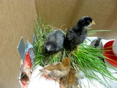 Natural Chicken Keeping: Why Putting Sod in Your Brooder Will Help Your Chicks