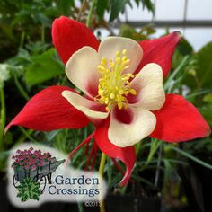 Buy Aquilegia Origami Red and White - Buy Columbine Perennials Online. Garden Crossings Online Garden Center offers a large selection of Columbine Plants. Rabbit Resistant Plants, Deer Resistant Perennials, Flowers Perennials, Planting Flowers, Spring Blooming Flowers, Order Plants Online, Columbine Flower, Landscaping Plants, Landscaping Ideas