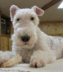 Jack is a 5 year old Wire Fox Terrier whose owner no longer wanted him.