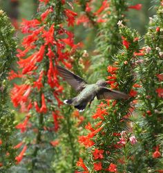 Standing cypress | Hummer-on-Standing-Cypress I have these