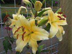 "Oriental Lily ""Yellow Stargazer"""