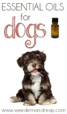 Essential Oils Recipe For Pain Amp Arthritis In Dogs Good