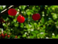 Oodles of cherries to pick at this Small Family Upick Farm and Farm Stand