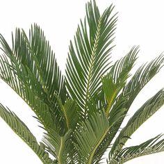 De Cycas revoluta, beter bekend als Varenpalm, is een echte oerplant. Zijn bijzondere uitstraling heeft hij te danken aan de robuuste stam en sierlijke bladeren. #varenpalm #cycasrevoluta #kamerplant #planten #plants #groeninhuis #planteninhuis #urbanjungle