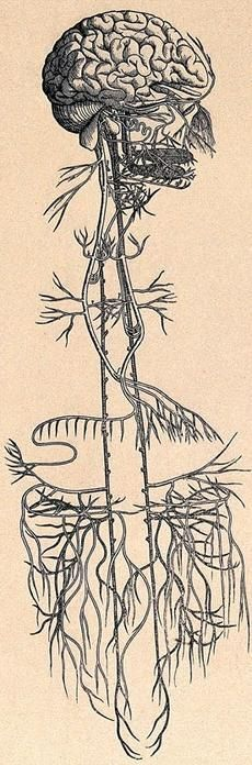 Early anatomical drawing of the vagus nerve.