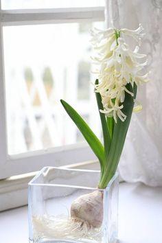 ほったらかしOK! ヒヤシンスの球根を来年も楽しむ方法 : 窪田千紘フォトスタイリングWebマガジン「Klastyling」暮らす+スタイリング Container Gardening, Glass Vase, Flowers, Plants, Greenhouses, Hana, Bulbs, Home Decor, Tulips