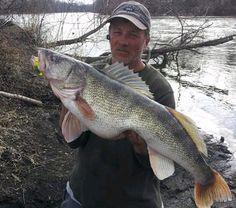 walleye illinois america canada big fishes huge world record largest IGFA  small biggest fish lak