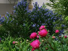 This is Karl Rosenfield peony in front of Ceanothus thyrsiflorus 'Victoria' (California Lilac)
