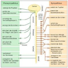Dysautonomia or autonomic dysfunction is a condition in which the autonomic nervous system (ANS) does not work properly. Can be caused by Sjogren's Nervous System Facts, Central Nervous System, Nervous System Anatomy, Nervous System Function, Peripheral Nervous System, Endocrine System, What Is Fear, Human Anatomy And Physiology, Nursing
