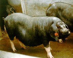 Breeds of Livestock - Meishan Swine — Breeds of Livestock, Department of Animal Science