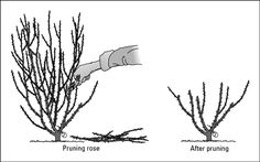 Rose bush tips: Use clean, sharp clippers, and cut at a 45-degree angle. Cut near a ibud eye,/i the tiny browni