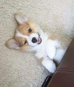 Puppies making adorable faces = adorable. Corgi puppies making insanely adorable faces = life.Share ... - Mom.me