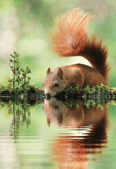 Thirsty Squirrel......