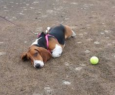 Former BRF basset Daisy... the ball is just too far away to fetch.