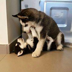 I love huskies so much