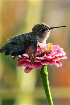 Baby Hummingbird resting on zinnia. Via Nature Gallery - FB