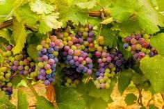 Sean Sullivan - Washington Wine Report: August Pic of the Vine Green Life, Go Green, Sean Sullivan, Energy Resources, Advantages Of Solar Energy, Photo Composition, Cool Posters, Travel Posters, Wine Country