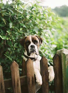 Hello neighbor! #Boxer buddies!
