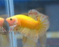 Viery nice fin color and the red specs are… Koi Betta, Betta Fish Tank, Beta Fish, Tropical Freshwater Fish, Freshwater Aquarium, Tropical Fish, Beautiful Fish, Animals Beautiful, Aquariums