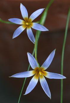 Romulea tabularis - Flickr - Photo Sharing!