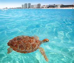 Green sea turtle Caribbean - Cancun Mexico