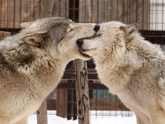 狼は愛情表現で甘噛みするんだけど、その姿がとてつもなく愛おしい…pic.twitter.com/ZlmG4it5iV Wolf Photos, Wolf Pictures, Cute Animal Pictures, Cute Little Animals, Cute Funny Animals, Beautiful Creatures, Animals Beautiful, Timberwolf, Wolf Love