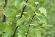 Pine Forest, Google Images, Plant Leaves, Plants, Plant, Planets