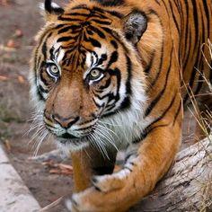 beautiful tiger ❤
