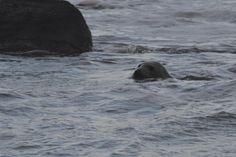 Selkie or seal?