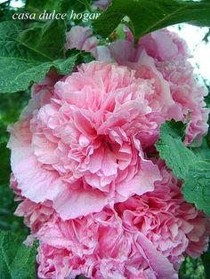 malva rosa doble
