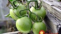 Ako docieliť, aby zelené paradajky dozreli? Pomôže banán aj piliny!