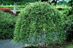oh my gosh literally the best. dwarf willow tree; i almost cried when i saw this its so beautiful