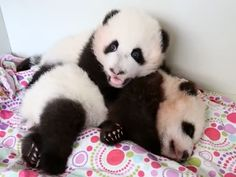Wake up! Sleepy baby panda keeps getting poked by brother: Reminds me of my brother!