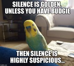 Budgie parakeet silence golden