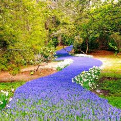 """Located at Heritage Museum & Gardens, the """"bulb river"""" is a purple stream of over grape hyacinths. The bulbs are planted in the winter and burst to life in the spring. You only have a short window to see this fantastic sight, so be sure to head to Camping Places, Camping World, Vacation Places, Places To Travel, Places To See, Vacations, Camping Gear, Travel Destinations, Weekend Trips"""