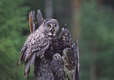 Great Grey Owl female and chick by Jari Peltomäki Photography Tours, Wildlife Photography, Spotted Owl, Strix Nebulosa, Tawny Owl, Barred Owl, Great Grey Owl, Kinds Of Birds, Bird Watching