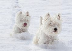 West Highland White Terriers running in the snow. #PANDORAloves #Dogs