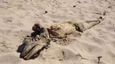 Mysterious sea creature washes ashore in UK! June,3, 2013