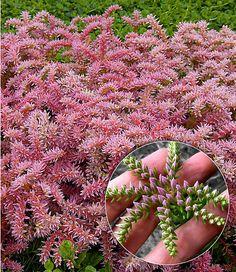 Fancy Seestern Blume Pflanzen im Mein Sch ner Garten Shop