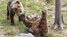 Brown bear in Ranua Wildlife Park - Lapland, Finland