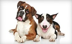 Boxer and Bull Terrier - Looks like hank and his future friend