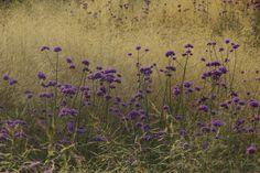 Verbena bonariensis and grasses - a magical combination at Het Vlackeland. Photos by Willy Oorthuijsen.
