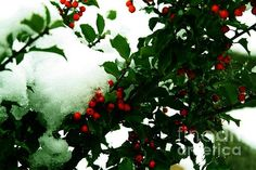 Fine Art Photography #prints - HOLLY and the FIRST SNOW - Photography taken of the winter hardy Blue Girl Holly Shrub growing in a small Illinois garden. The plant stays green year round and the berries are bright red throughout the winter season. In this capture was the first snow of the season. This holly is pollinated by Blue Prince or (Blue Boy Holly) and produces masses of bright red berries. The plant is perfect for creating crafts, wreaths and decor items for the winter season. #holly