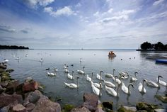 Swans in Lake Balaton